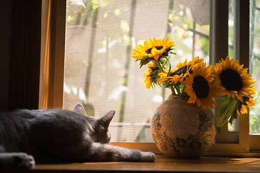 Existing tenants are allowed to have pets, like this cat staring out a window next to a vase of sunflowers.